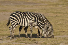 Two zebras grazing Royalty Free Stock Photos