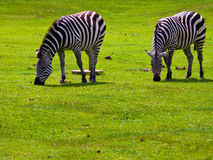 Two Zebras Grazing. On grass in the field Stock Photography