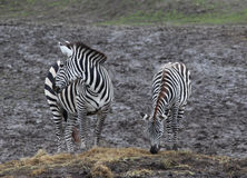 Two zebras grazing Royalty Free Stock Photo