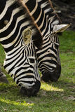 two zebras Royalty Free Stock Image