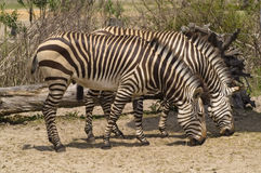 Two Zebras Grazing Stock Photography