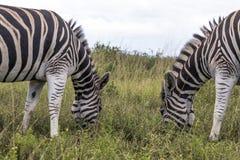 Two Zebras Grazing on Grassland Against Overcast Sky. Close-up of two Zebras grazing on grassland against overcast sky in South Africa Stock Image