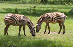 Two zebras grazing at Lake Nakuru reserve Royalty Free Stock Photos