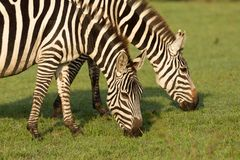 Two zebras grazing in the Maasai Mara. Closeup of two zebras grazing on the grass of the Maasai Mara, Kenya Stock Images
