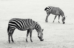 Two zebras grazing in the meadow. Black and white photo Stock Photography