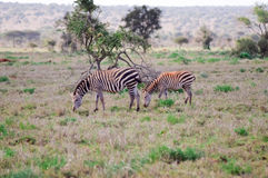 Two zebras grazing Royalty Free Stock Images
