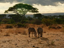 Two Zebras grazing Royalty Free Stock Image