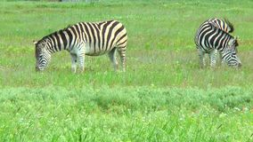 Two zebras grazing in the steppes on the grass stock footage