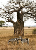Two zebras grazing under a Baobab tree. Two black and white Zebras grazing under a Baobab tree in Tanzania stock photography