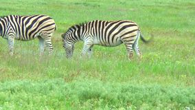 Two zebras grazing in the wilderness on the green grass stock video footage