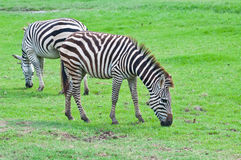 Two zebras on green field Stock Photography