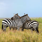 Two zebras, the harmony Stock Images