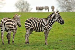 Two zebras with a herd in the background Royalty Free Stock Photo