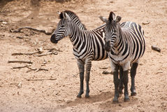 Two zebras looking Stock Image