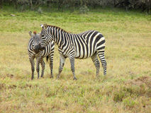Two zebras in love Royalty Free Stock Photography