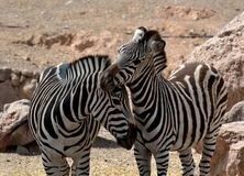 Two zebras in love. Two standing zebras in love Stock Images