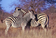 Two zebras, mother & baby Royalty Free Stock Image