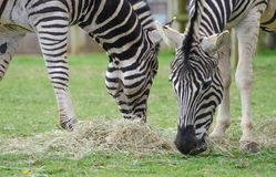 Two Zebras munching hay in a wildlife park Royalty Free Stock Photo