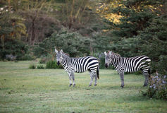 Two Zebras near Naivasha lake Royalty Free Stock Image