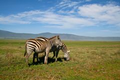 Two zebras in Ngorongoro crater Stock Image
