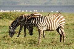 Two zebras with oxpeckers Royalty Free Stock Photo