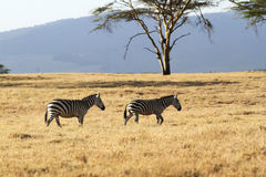 Two zebras photographed at Lake Naivasha, Kenya. Photographed next to the lake - also near to a place called Crater Lake or Soda Lake Royalty Free Stock Photo