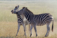 Two Zebras in playfull mode. Two Zebras playing early morning in Pilanesberg National Park royalty free stock image
