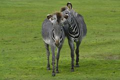 Two zebras playing Stock Image