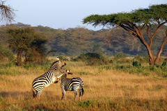 Two zebras playing around Royalty Free Stock Images