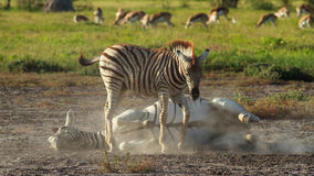 Two Zebras playing in the dust Stock Photo