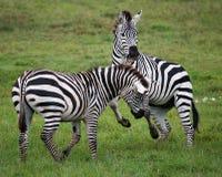 Two zebras playing with each other. Kenya. Tanzania. National Park. Serengeti. Maasai Mara. Stock Photo