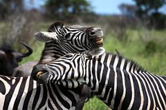 Two Zebras playing Stock Images