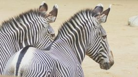 Two zebras. Portrait of two African zebra, Hippotigris stock footage
