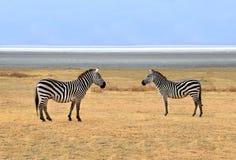 Two Zebras posing at Ngorongoro Plains Royalty Free Stock Photo