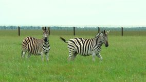 Two zebras on the prairie on a green grass. They are looking at the camera stock footage