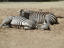 Two zebras in the zoo Germany. Stock Photos
