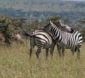 Two Zebras, resting their heads on each others back, one with ta. Il swishing and standing in green grass, Masai Mara, Kenya, Africa stock photography