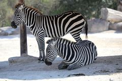 Two zebras in the safari park stock image