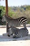 Two zebras in the safari stock photo