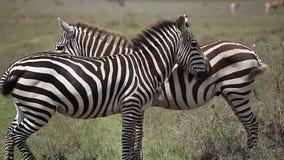 Two zebras in savanna. Two zebras stand in savanna stock video