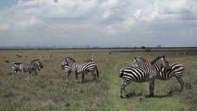 Two zebras in savanna. Zebras stand in savanna. Nairobi stock footage