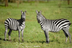 Two zebras in the Serengeti Stock Photography