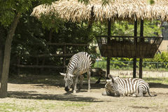 Two zebras. Zebras are several species of African equids horse family united by their distinctive black and white striped coats Stock Photography