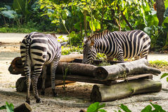 Two zebras. In Singapore Zoo Stock Photo