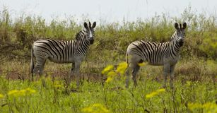 Two Zebras stand in the African plains Stock Photo