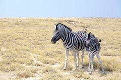 Two zebras stand next to each other closeup in savanna, safari in Etosha National Park, Namibia, Southern Africa stock photo