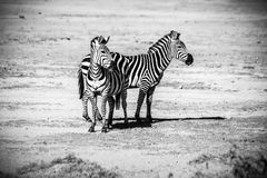 Two Zebras Standing Royalty Free Stock Images