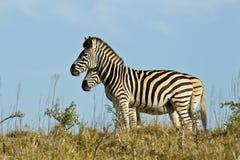 Two zebras Royalty Free Stock Photos