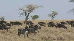 Two zebras standing in a dry grass against the background of a flow of migrating wildebeest in dry season in the Serengeti stock video