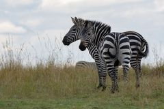Two zebras standing on the grasslands of the Masai Mara, Kenya, Africa stock images
